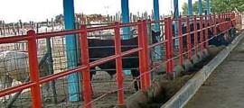 bovinos en municipio