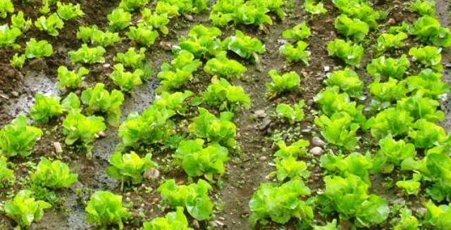 Crece 8 6 la producci n de hortalizas en el campo for Asociacion de hortalizas