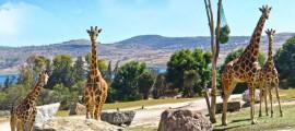 africam jirafas