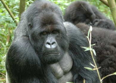 gorila-vih